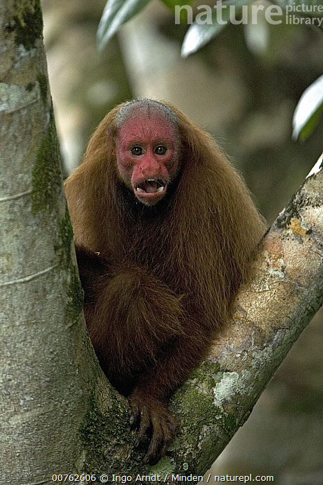 Red Uakari (Cacajao calvus) calling, Amazon Ecosystem, Brazil, Adult, Amazon Ecosystem, Arboreal, Brazil, Cacajao calvus, Calling, Color Image, Day, Front View, One Animal, Outdoors, Photography, Red Uakari, Threatened Species, Three Quarter Length, Vertical, Vulnerable Species, Wildlife,Red Uakari,Brazil, Ingo Arndt