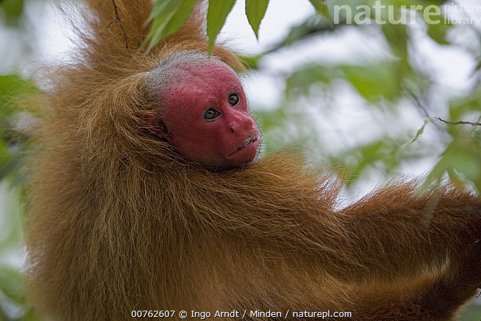 Red Uakari (Cacajao calvus) male in tree, Amazon Ecosystem, Brazil, Adult, Amazon Ecosystem, Brazil, Cacajao calvus, Color Image, Day, Horizontal, Male, One Animal, Outdoors, Photography, Rear View, Red Uakari, Threatened Species, Vulnerable Species, Waist Up, Wildlife,Red Uakari,Brazil, Ingo Arndt