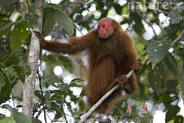 Red Uakari (Cacajao calvus) female in tree, Amazon Ecosystem, Brazil, Adult, Amazon Ecosystem, Arboreal, Brazil, Cacajao calvus, Color Image, Day, Female, Front View, Full Length, Horizontal, Low Angle View, One Animal, Outdoors, Photography, Red Uakari, Threatened Species, Vulnerable Species, Wildlife,Red Uakari,Brazil, Ingo Arndt