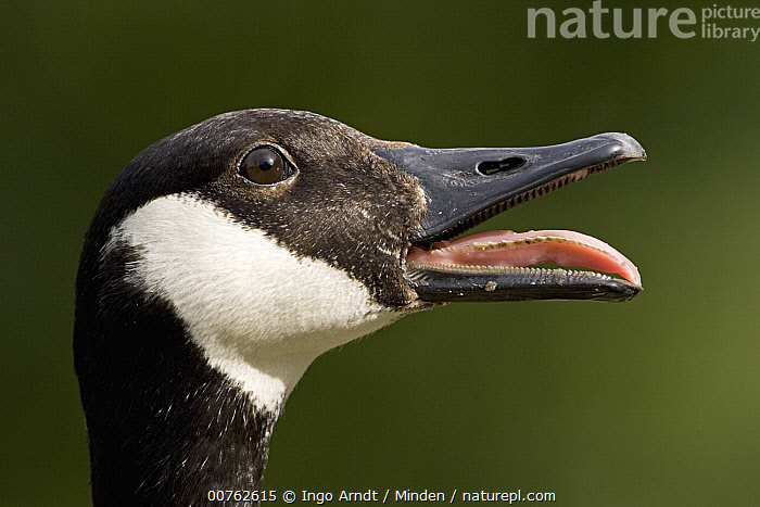 Canada Goose (Branta canadensis) calling, native to North America, Adult, Branta canadensis, Calling, Canada Goose, Captive, Color Image, Day, Head, Horizontal, One Animal, Outdoors, Photography, Profile, Side View, Tongue, Waterfowl, Wildlife,Canada Goose, Ingo Arndt