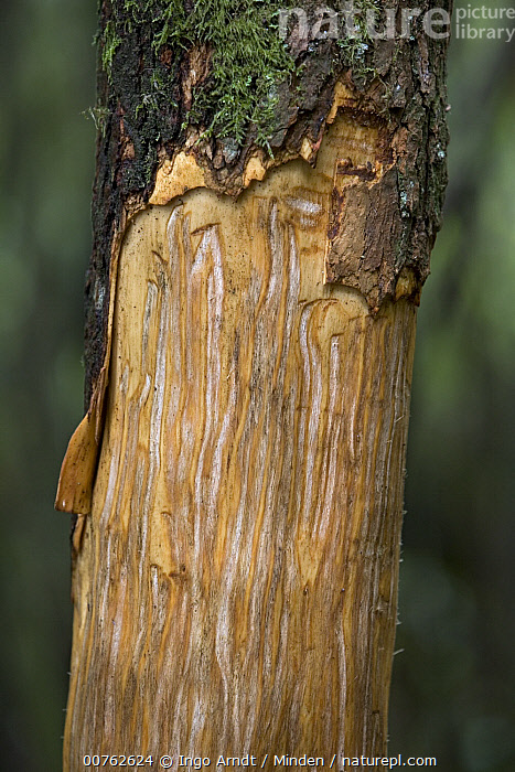 Mountain Gorilla (Gorilla gorilla beringei) sign, tree stripped of bark to reach tree sap, Parc National des Volcans, Rwanda, Africa, Bark, Color Image, Critically Endangered Species, Damage, Day, Endangered Species, Gorilla gorilla beringei, Mountain Gorilla, Nobody, Outdoors, Parc National des Volcans, Photography, Rwanda, Sap, Tree, Tree Trunk, Vertical,Mountain Gorilla,Rwanda, Ingo Arndt