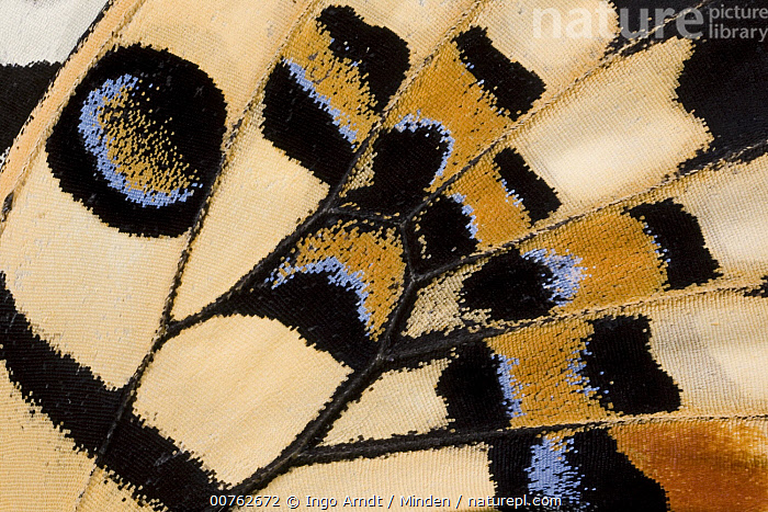 Common Lime (Papilio demoleus) butterfly wing detail showing false eyespot, Asia, Abstract, Adult, Asia, Butterfly, Close Up, Color Image, Common Lime, Day, Detail, False Eyespot, Flower, Horizontal, Magnification, One Animal, Outdoors, Papilio demoleus, Photography, Side View, Wildlife, Wing,Common Lime,Asia, Ingo Arndt