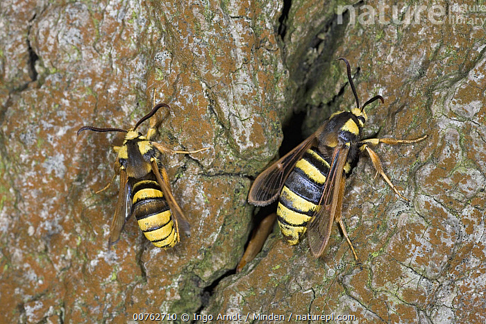 Hornet Moth (Sesia apiformis) pair, hornet mimics, Europe, Adult, Color Image, Day, Europe, Full Length, Horizontal, Hornet Moth, Mimicking, Outdoors, Photography, Sesia apiformis, Striped, Top View, Two Animals, Wildlife,Hornet Moth,Europe, Ingo Arndt