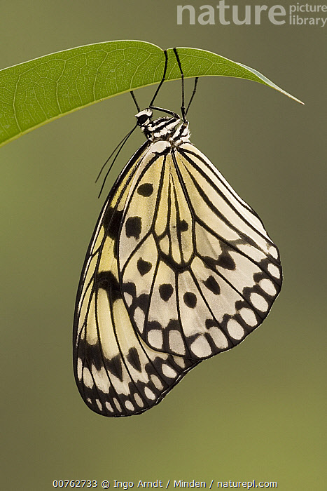 Paper Kite (Idea leuconoe) butterfly, Asia, Adult, Asia, Butterfly, Color Image, Day, Full Length, Idea leuconoe, One Animal, Outdoors, Paper Kite, Photography, Side View, Spotted, Tree Nymph, Vertical, Wildlife,Paper Kite,Asia, Ingo Arndt
