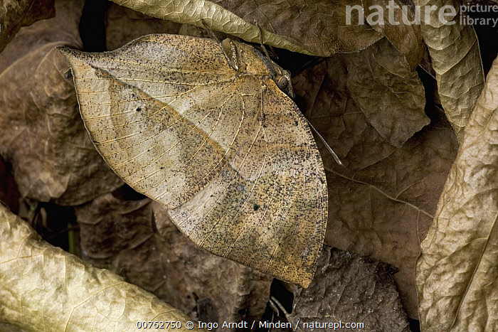 Leaf Butterfly (Kallima paralekta) camouflaged in leaf litter, southern Asia, Adult, Asia, Camouflage, Color Image, Day, Full Length, Horizontal, Kallima paralekta, Leaf Butterfly, Leaf Litter, Mimicking, One Animal, Outdoors, Photography, Side View, Wildlife,Leaf Butterfly,Asia, Ingo Arndt