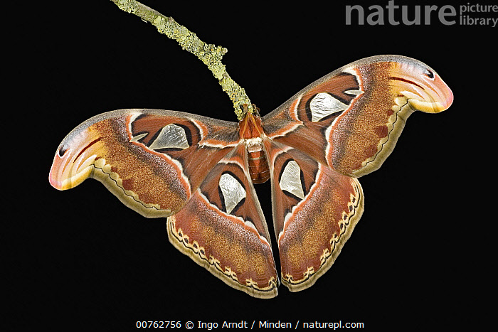 Nature Picture Library Atlas Moth Attacus Atlas Wing
