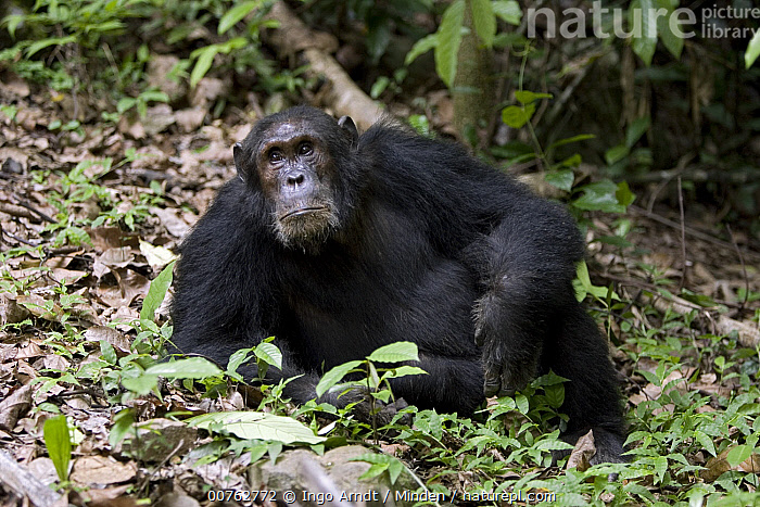Chimpanzee (Pan troglodytes) male, Gombe Stream National Park, Tanzania, Adult, Chimpanzee, Color Image, Day, Endangered Species, Front View, Full Length, Gombe Stream National Park, Horizontal, Lying, Male, Nobody, One Animal, Outdoors, Pan troglodytes, Photography, Resting, Tanzania, Wildlife,Chimpanzee,Tanzania, Ingo Arndt