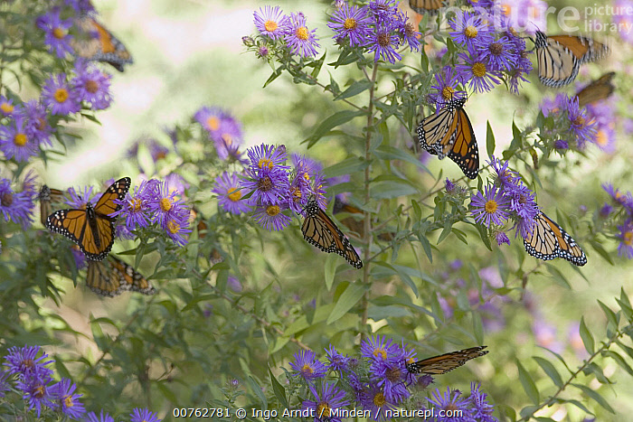 Monarch (Danaus plexippus) butterflies feeding on Asters to rebuild their reserves, Cape May, New Jersey  ,  Adult, Aster, Cape May, Color Image, Danaus plexippus, Day, Eight, Feeding, Flower, Full Length, Horizontal, Medium Group of Animals, Monarch, New Jersey, Nobody, Outdoors, Photography, Side View, Three Animals, Wildlife,Monarch,New Jersey, USA  ,  Ingo Arndt