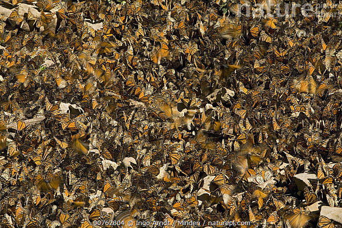 Monarch (Danaus plexippus) butterflies gathering to drink water and take up minerals, Michoacan, Mexico, Adult, Color Image, Danaus plexippus, Day, Drinking, Full Length, Gathering, High Angle View, Horizontal, Large Group of Animals, Mexico, Michoacan, Monarch, Nobody, Outdoors, Photography, Puddling, Side View, Sipping, Wildlife,Monarch,Mexico, Ingo Arndt