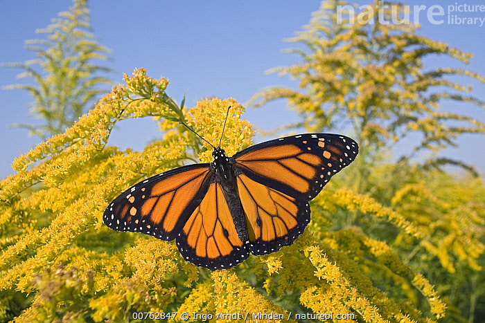 Monarch (Danaus plexippus) butterfly feeding on nectar of Goldenrod during migration, East Coast, USA, Adult, Animal in Habitat, Color Image, Danaus plexippus, Day, East Coast, Feeding, Full Length, Goldenrod, Horizontal, Monarch, Nobody, One Animal, Outdoors, Photography, Symmetry, Top View, USA, Wildlife,Monarch,USA, Ingo Arndt