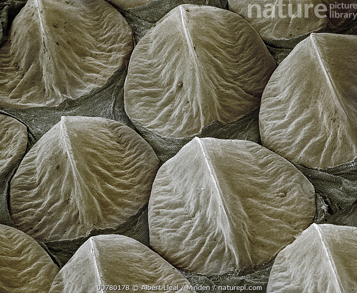 Western Diamondback Rattlesnake (Crotalus atrox) SEM close-up of keeled scales on the head at 14x magnification  ,  Close Up, Colorized Image, Crotalus atrox, Horizontal, Indoors, Magnification, Micrograph, Nature Pattern, Nobody, One Animal, Photography, Scale, SEM, Western Diamondback Rattlesnake, Wildlife,Western Diamondback Rattlesnake  ,  Albert Lleal