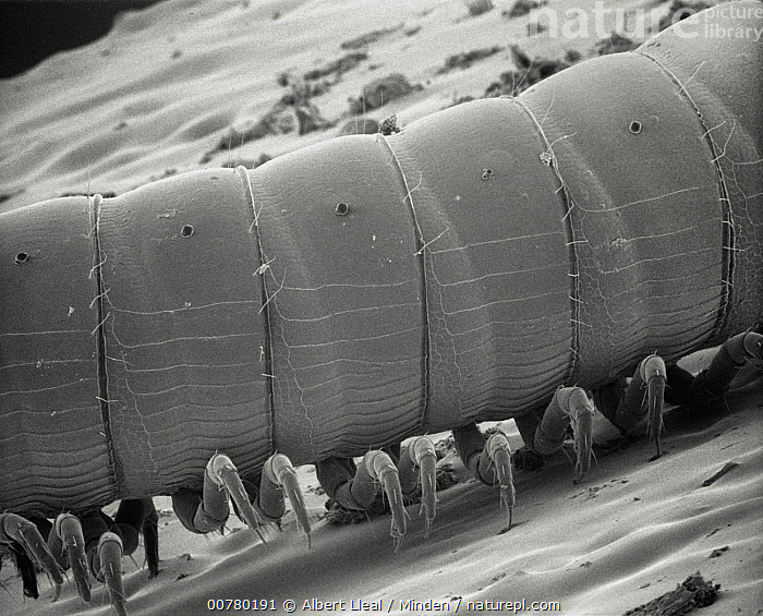 SEM close-up of a millipede at 70x magnification showing 2 pair of legs per body section, the attribute distinguishing this group from centipedes which have but a single pair of legs per section, Black And White, Close Up, Horizontal, Indoors, Leg, Magnification, Micrograph, Millipede, Nobody, One Animal, Photography, SEM, Side View, Wildlife, Albert Lleal