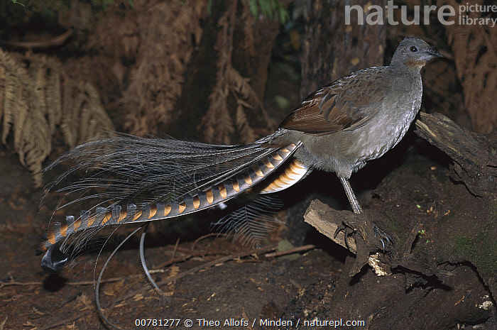 Superb Lyrebird (Menura novaehollandiae) male, Yarra Ranges National Park, Australia, Adult, Australia, Color Image, Day, Full Length, Horizontal, ILCP, Male, Menura novaehollandiae, Nobody, One Animal, Outdoors, Photography, Side View, Songbird, Superb Lyrebird, Wildlife, Yarra Ranges National Park,Superb Lyrebird,Australia, Theo Allofs