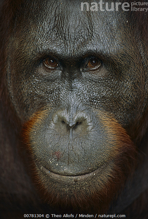 Orangutan (Pongo pygmaeus) young male, Tanjung Puting National Park, Borneo, Malaysia  ,  Borneo, Color Image, Day, Endangered Species, Face, Front View, Head, ILCP, Juvenile, Male, Malaysia, Nobody, One Animal, Orangutan, Outdoors, Photography, Pongo pygmaeus, Tanjung Puting National Park, Vertical, Wildlife,Orangutan,Malaysia  ,  Theo Allofs