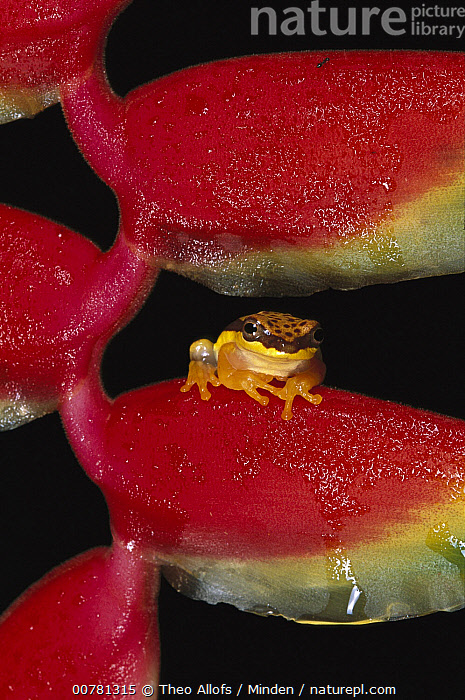 Red-skirted Tree Frog (Hyla rhodopepla) on Heliconia flower, Tambopata River, Peru, Adult, Color Image, Day, Flower, Front View, Full Length, Heliconia, Hyla rhodopepla, ILCP, Nobody, One Animal, Outdoors, Peru, Photography, Red-skirted Tree Frog, Tambopata River, Vertical, Wildlife,Red-skirted Tree Frog,Peru, Theo Allofs