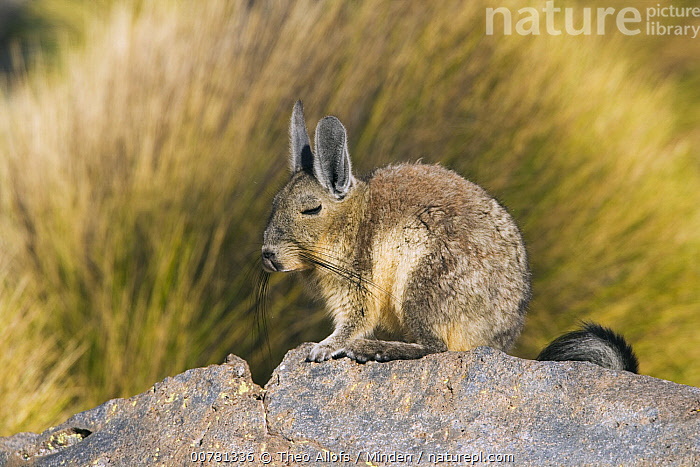 Plains Viscacha (Lagostomus maximus) resting on rock, Salar de Surire National Monument, northern Chile  ,  Adult, Chile, Color Image, Day, Full Length, Horizontal, ILCP, Lagostomus maximus, Nobody, One Animal, Outdoors, Photography, Plains Viscacha, Resting, Salar de Surire National Monument, Side View, Wildlife,Plains Viscacha,Chile  ,  Theo Allofs