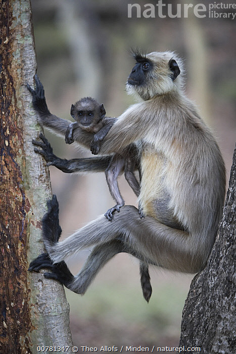 Hanuman Langur (Semnopithecus entellus) mother with baby in tree, India, Adult, Baby, Color Image, Day, Family, Female, Front View, Full Length, ILCP, India, Mother, Nobody, Outdoors, Parent, Photography, Side View, Sitting, Two Animals, Vertical, Wildlife,Hanuman Langur,India, Theo Allofs