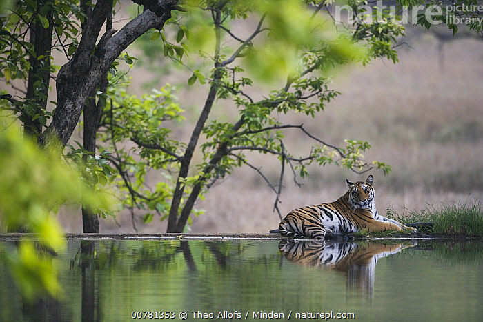 Bengal Tiger (Panthera tigris tigris) lying on dam wall cooling off during the heat of the afternoon in April during the dry season, India  ,  Adult, Bengal Tiger, Color Image, Cooling, Dam, Day, Endangered Species, Full Length, Horizontal, ILCP, India, Lying, Nobody, One Animal, Outdoors, Panthera tigris tigris, Photography, Reflection, Side View, Wildlife,Bengal Tiger,India  ,  Theo Allofs