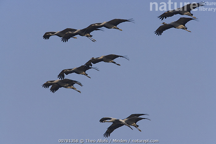 Demoiselle Crane (Anthropoides virgo) flock flying, India  ,  Adult, Anthropoides virgo, Color Image, Crane, Day, Demoiselle Crane, Flock, Flying, Full Length, Horizontal, ILCP, India, Low Angle View, Medium Group of Animals, Nobody, Outdoors, Photography, Side View, Underside, Wildlife,Demoiselle Crane,India  ,  Theo Allofs