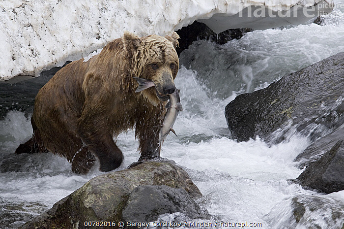 Brown Bear (Ursus arctos) with caught salmon, Kamchatka, Russia, Adult, Brown Bear, Color Image, Day, Foraging, Full Length, Horizontal, Kamchatka, Nobody, Outdoors, Photography, Predating, Predator, Prey, Russia, Side View, Two Animals, Ursus arctos, Wildlife,Brown Bear,Russia, Sergey Gorshkov