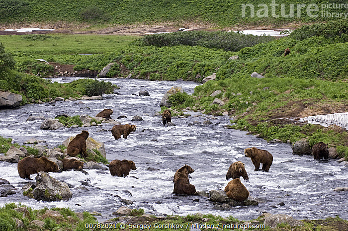 Brown Bear (Ursus arctos) group foraging for salmon, normally solitary they may congregate at fishing rivers, Kamchatka, Russia, Adult, Brown Bear, Color Image, Day, Foraging, Full Length, Horizontal, Kamchatka, Large Group of Animals, Nobody, Outdoors, Photography, Russia, Side View, Ursus arctos, Wildlife,Brown Bear,Russia, Sergey Gorshkov