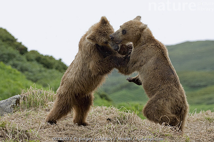 Brown Bear (Ursus arctos) juveniles play fighting, Kamchatka, Russia, Brown Bear, Color Image, Day, Fighting, Full Length, Horizontal, Juvenile, Kamchatka, Nobody, Outdoors, Photography, Playing, Russia, Side View, Two Animals, Ursus arctos, Wildlife,Brown Bear,Russia, Sergey Gorshkov