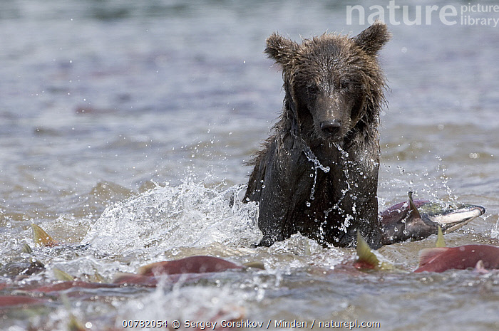 Brown Bear (Ursus arctos) foraging for salmon, Kamchatka, Russia  ,  Adult, Brown Bear, Color Image, Day, Front View, Head and Shoulders, Horizontal, Kamchatka, Nobody, One Animal, Outdoors, Photography, Predator, Prey, Russia, Ursus arctos, Wildlife,Brown Bear,Russia  ,  Sergey Gorshkov