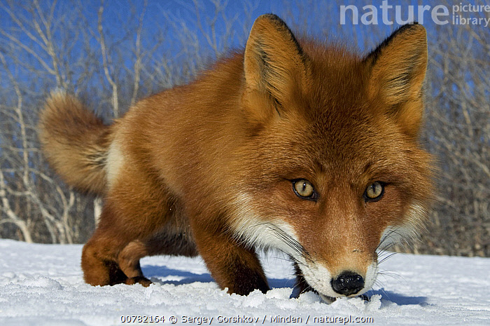 Red Fox (Vulpes vulpes) smelling snow, Kamchatka, Russia, Adult, Color Image, Day, Front View, Full Length, Horizontal, Kamchatka, Nobody, One Animal, Outdoors, Photography, Red Fox, Russia, Smelling, Snow, Vulpes vulpes, Wide-angle Lens, Wildlife,Red Fox,Russia, Sergey Gorshkov