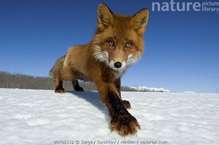 Red Fox (Vulpes vulpes) on snow, Kamchatka, Russia, Adult, Color Image, Day, Front View, Full Length, Horizontal, Kamchatka, Nobody, One Animal, Outdoors, Photography, Red Fox, Russia, Vulpes vulpes, Wide-angle Lens, Wildlife,Red Fox,Russia, Sergey Gorshkov