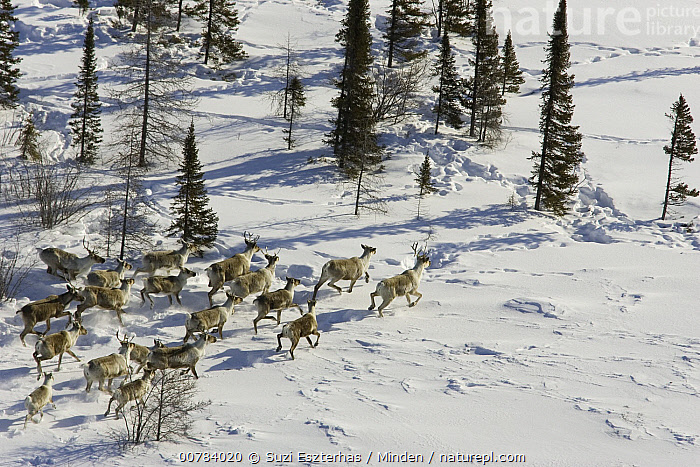 Caribou (Rangifer tarandus) herd running, Wapusk National Park, Canada  ,  Adult, Aerial View, Canada, Caribou, Color Image, Day, Full Length, Herd, Horizontal, ILCP, Large Group of Animals, Nobody, Outdoors, Photography, Rangifer tarandus, Running, Side View, Wapusk National Park, Wildlife,Caribou,Canada  ,  Suzi Eszterhas