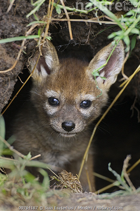 Black-backed Jackal (Canis mesomelas) pup, four weeks old, peeking out of den, Masai Mara, Kenya, Baby, Black-backed Jackal, Canis mesomelas, Color Image, Cute, Day, Den, Front View, Head and Shoulders, ILCP, Kenya, Looking at Camera, Masai Mara, Nobody, One Animal, Outdoors, Peeking, Photography, Pup, Vertical, Wildlife,Black-backed Jackal,Kenya, Suzi Eszterhas