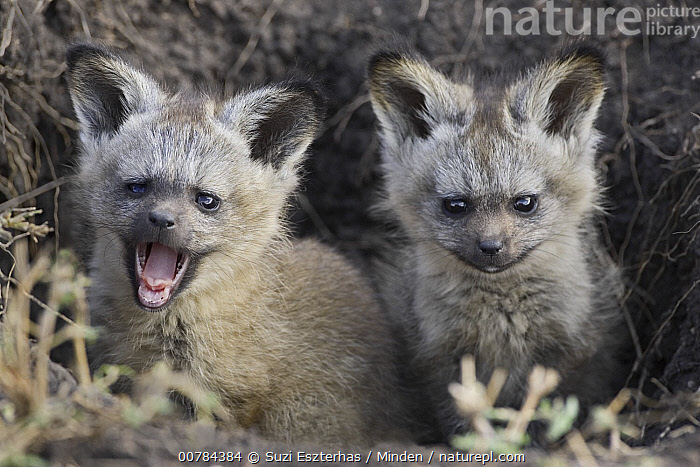 Bat-eared Fox (Otocyon megalotis) pups outside of den, Masai Mara, Kenya, Baby, Bat-eared Fox, Color Image, Cute, Day, Den, Front View, Horizontal, ILCP, Kenya, Kit, Nobody, Open Mouth, Otocyon megalotis, Outdoors, Photography, Pup, Two Animals, Waist Up, Wildlife, Young,Bat-eared Fox,Kenya, Suzi Eszterhas