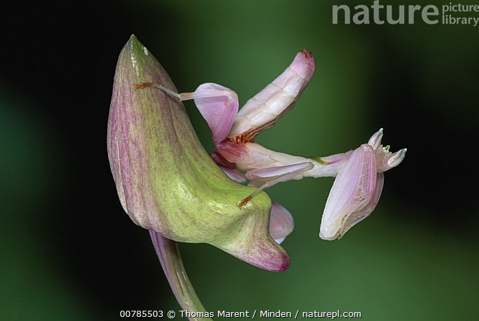 Orchid Mantis (Hymenopus coronatus) camouflaged on flower, Borneo, Malaysia  ,  Adult, Borneo, Camouflage, Color Image, Day, Flower, Full Length, Horizontal, Hymenopus coronatus, ILCP, Malaysia, Mimicking, Nobody, One Animal, Orchid, Orchid Mantis, Outdoors, Photography, Pink, Side View, Wildlife,Orchid Mantis,Malaysia  ,  Thomas Marent