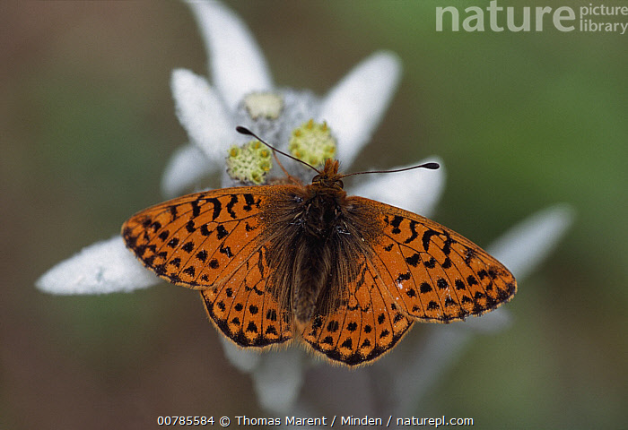 Shepherd's Fritillary (Boloria pales) butterfly, Switzerland  ,  Adult, Butterfly, Color Image, Day, Full Length, Horizontal, ILCP, Nobody, One Animal, Orange, Outdoors, Photography, Shepherd's Fritillary, Switzerland, Top View, Wildlife,Shepherd's Fritillary,Switzerland  ,  Thomas Marent