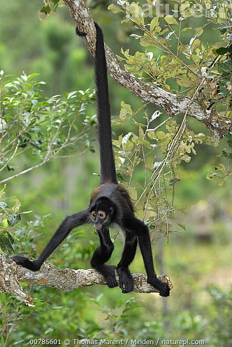 Black-handed Spider Monkey (Ateles geoffroyi) using prehensile tail, Belize  ,  Adult, Ateles geoffroyi, Belize, Black-handed Spider Monkey, Climbing, Color Image, Day, Endangered Species, Front View, Full Length, Hanging, ILCP, Nobody, One Animal, Outdoors, Photography, Prehensile, Vertical, Wildlife,Black-handed Spider Monkey,Belize  ,  Thomas Marent