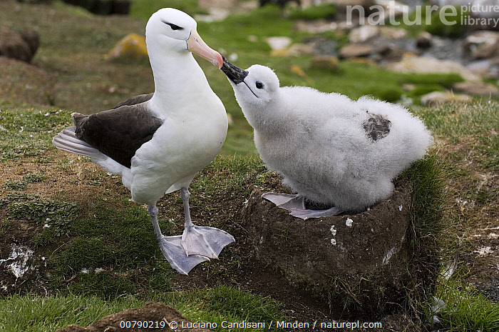Black-browed Albatross (Thalassarche melanophrys) chick begging parent for food, Saunders Island, Falkland Islands  ,  Adult, Baby, Begging, Black-browed Albatross, Chick, Color Image, Day, Endangered Species, Falkland Islands, Full Length, Horizontal, ILCP, Nest, Nobody, Outdoors, Parent, Photography, Saunders Island, Seabird, Side View, Thalassarche melanophrys, Two Animals, Wildlife,Black-browed Albatross,Falkland Islands  ,  Luciano Candisani