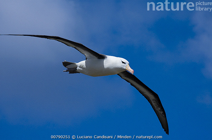 Black-browed Albatross (Thalassarche melanophrys) flying, Steeple Jason Island, Falkland Islands  ,  Adult, Black-browed Albatross, Color Image, Day, Endangered Species, Falkland Islands, Flying, Horizontal, ILCP, Low Angle View, Nobody, One Animal, Outdoors, Photography, Seabird, Side View, Steeple Jason Island, Thalassarche melanophrys, Wildlife, Wings Spread,Black-browed Albatross,Falkland Islands  ,  Luciano Candisani