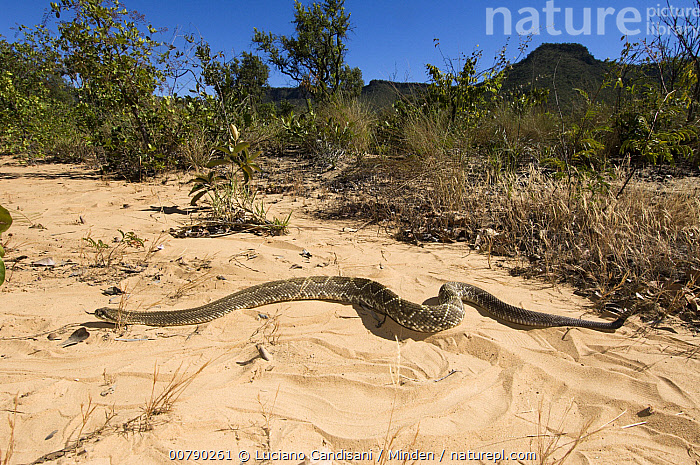Western Diamondback Rattlesnake (Crotalus atrox) moving through habitat,  ,  Adult, Animal in Habitat, Bahia, Color Image, Crotalus atrox, Day, Full Length, Horizontal, ILCP, Nobody, One Animal, Outdoors, Photography, Sao Paulo, Side View, Urucuca, Western Diamondback Rattlesnake, Wildlife,Western Diamondback Rattlesnake  ,  Luciano Candisani