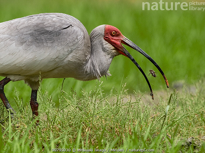 Crested Ibis (Nipponia nippon) feeding on an insect, China  ,  Adult, China, Color Image, Crested Ibis, Day, Endangered Species, Feeding, Horizontal, Nipponia nippon, Nobody, One Animal, Open Mouth, Outdoors, Photography, Profile, Side View, Three Quarter Length, Wader, Wading Bird, Wildlife,Crested Ibis,China  ,  Mitsuaki Iwago