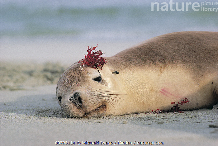 Australian Sea Lion (Neophoca cinerea) resting with seaweed on its head, Australia, Adult, Australia, Australian Sea Lion, Beach, Color Image, Day, Endangered Species, Horizontal, Humor, Marine Mammal, Neophoca cinerea, Nobody, One Animal, Outdoors, Photography, Resting, Seaweed, Side View, Waist Up, Wildlife,Australian Sea Lion,Australia, Mitsuaki Iwago