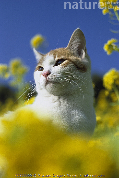 Domestic Cat (Felis catus) adult resting in the sunshine among yellow flowers, Adult, Color Image, Day, Domestic Cat, Felis catus, Field, Flower, Front View, Head and Shoulders, Low Angle View, Meadow, Nobody, One Animal, Outdoors, Photography, Portrait, Resting, Sitting, Sunning, Vertical, Yellow,Domestic Cat, Mitsuaki Iwago