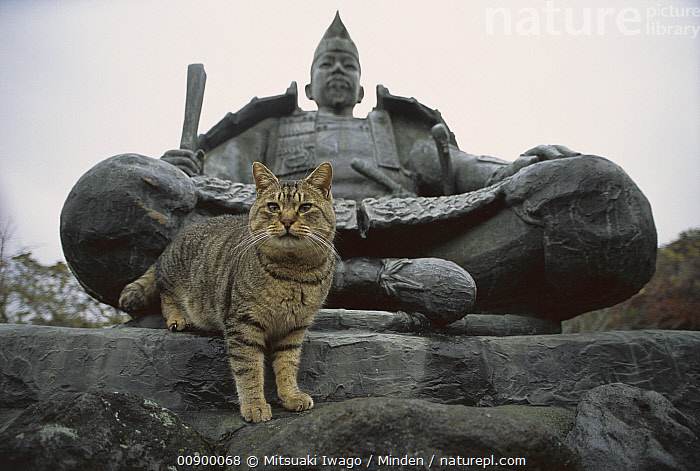 Domestic Cat (Felis catus) adult Tabby on statue, Adult, Color Image, Day, Domestic Cat, Felis catus, Front View, Full Length, Horizontal, Looking at Camera, Nobody, One Animal, One Object, Outdoors, Photography, Statue,Domestic Cat, Mitsuaki Iwago