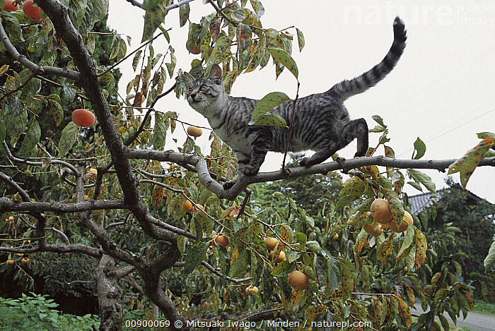 Domestic Cat (Felis catus) adult Tabby walking on branch in a fruit tree, Adult, Alert, Balancing, Climbing, Color Image, Day, Domestic Cat, Felis catus, Fruit, Full Length, Horizontal, Nobody, One Animal, Outdoors, Photography, Profile, Side View, Tree,Domestic Cat, Mitsuaki Iwago