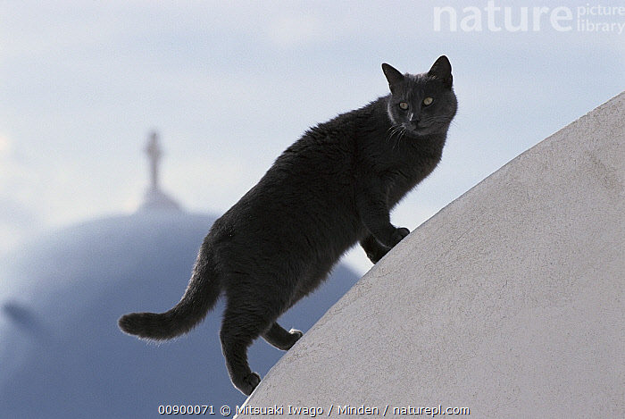 Domestic Cat (Felis catus) grey adult walking on white-washed dome, Greece  ,  Adult, Climbing, Color Image, Day, Domestic Cat, Felis catus, Full Length, Grey, Greece, Horizontal, Nobody, One Animal, Outdoors, Photography, Side View,Domestic Cat,Greece  ,  Mitsuaki Iwago