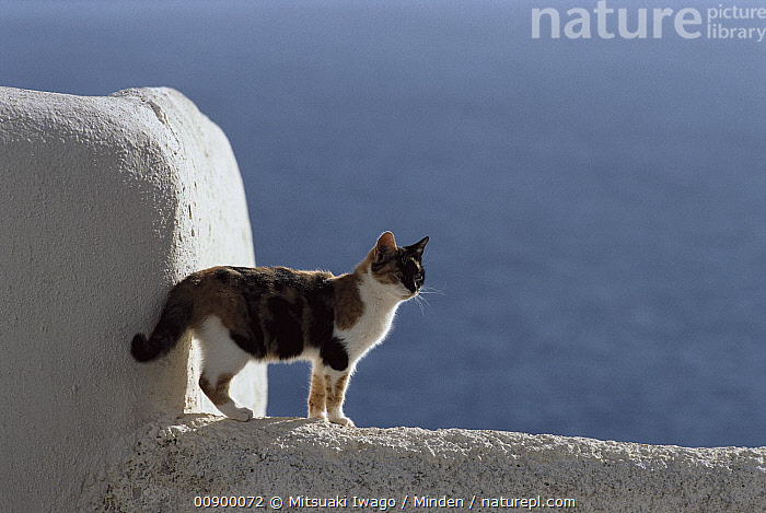 Domestic Cat (Felis catus) adult Calico standing on white-washed wall, Greece, Adult, Calico, Color Image, Day, Domestic Cat, Felis catus, Full Length, Grey, Greece, Horizontal, Nobody, One Animal, Outdoors, Photography, Side View, Standing,Domestic Cat,Greece, Mitsuaki Iwago