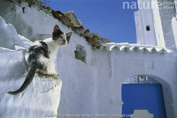 Domestic Cat (Felis catus) stray kitten on white-washed wall, Greece, Climbing, Color Image, Day, Domestic Cat, Felis catus, Full Length, Greece, Horizontal, Kitten, Looking Back, Nobody, One Animal, Outdoors, Photography, Rear View, Stray, Wall,Domestic Cat,Greece, Mitsuaki Iwago