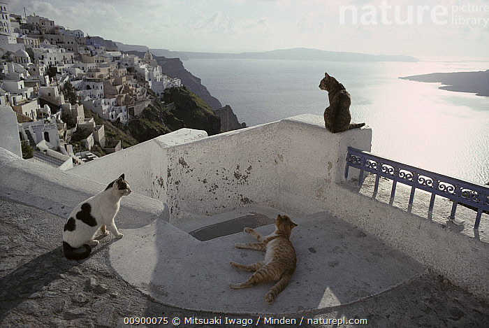 Domestic Cat (Felis catus) three strays, Santorini Island, Greece, Adult, Color Image, Day, Domestic Cat, Felis catus, Front View, Full Length, Greece, Horizontal, Lounging, Nobody, Outdoors, Photography, Rear View, Side View, Stray, Three Animals, Town, View,Domestic Cat,Greece, Mitsuaki Iwago