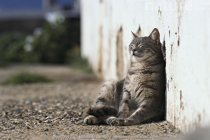 Domestic Cat (Felis catus) leaning against wall and resting in the sun, Adult, Color Image, Day, Domestic Cat, Felis catus, Front View, Full Length, Horizontal, Nobody, One Animal, Outdoors, Photography, Resting, Sunning, Wall,Domestic Cat, Mitsuaki Iwago
