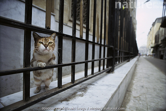 Domestic Cat (Felis catus) curious adult peering through railing on a city street, Europe, Adult, City, Color Image, Curiosity, Day, Domestic Cat, Europe, Felis catus, Front View, Full Length, Horizontal, Nobody, One Animal, Outdoors, Peeking, Photography, Stray, Street,Domestic Cat,Europe, Mitsuaki Iwago