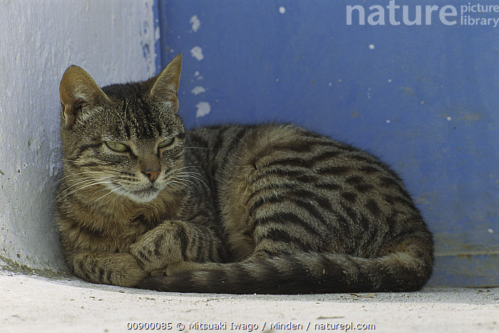 Domestic Cat (Felis catus) portrait of resting adult Tabby cat, Greece, Adult, Color Image, Day, Domestic Cat, Felis catus, Front View, Full Length, Greece, Horizontal, Lying, Nobody, One Animal, Outdoors, Photography, Stray,Domestic Cat,Greece, Mitsuaki Iwago